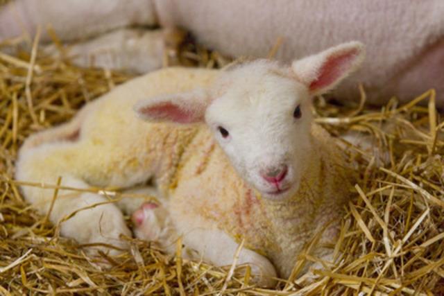 Lamb Baby Shower Invitations as best invitation design